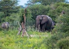 Elefantes africanos no Nxai Pan Nationalpark em Botswana imagem de stock royalty free