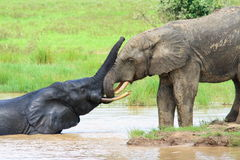 Elefantes africanos no parque nacional da toupeira, Ghana Fotos de Stock Royalty Free