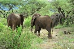Elefantes africanos no parque nacional Tanzânia de Manyara do lago imagens de stock