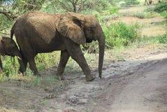 Elefantes africanos no parque nacional Tanzânia de Manyara do lago imagem de stock