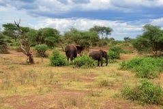 Elefantes africanos no parque nacional Tanzânia de Manyara do lago fotos de stock