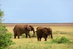Elefantes africanos no parque nacional Tanzânia de Manyara do lago imagens de stock royalty free