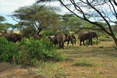 Elefantes africanos no parque nacional Tanzânia de Manyara do lago fotografia de stock