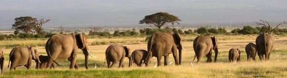 Elefantes africanos, parque nacional de Amboseli, Kenia Imagen de archivo libre de regalías