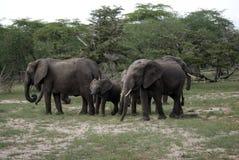 Elefantes africanos, parque nacional de Selous, Tanzania Foto de archivo