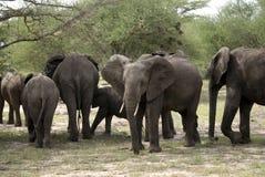 Elefantes africanos, parque nacional de Selous, Tanzania Imagen de archivo libre de regalías