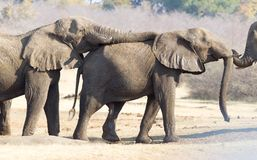 Elefantes africanos que abrazan fotos de archivo libres de regalías