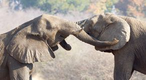 Elefantes africanos que abrazan foto de archivo