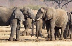 Elefantes africanos que abrazan fotografía de archivo libre de regalías