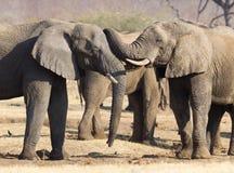 Elefantes africanos que abrazan fotos de archivo