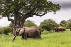 Elefantes africanos que andam no savana no nacional de Tarangire Fotografia de Stock