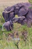 Elefantes africanos que beben de corriente Imágenes de archivo libres de regalías