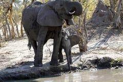 Elefantes africanos que beben en los llanos Imagen de archivo
