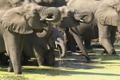 Elefantes africanos que beben, sur A Fotografía de archivo libre de regalías