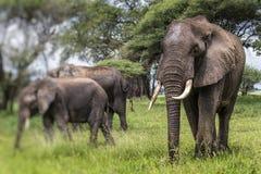 Elefantes africanos que caminan en sabana en el nacional de Tarangire Fotografía de archivo