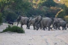 Elefantes africanos que corren a través de la cama de río seca, Suráfrica Fotos de archivo libres de regalías