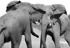 Elefantes africanos que luchan - Botswana Fotos de archivo