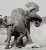Elefantes africanos que lutam - Botswana foto de stock royalty free