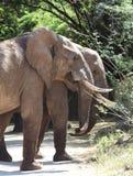 Elefantes africanos que pastam em árvores na reserva nacional de Samburu Foto de Stock