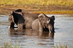 Elefantes africanos que refrescan el baño Imagen de archivo libre de regalías