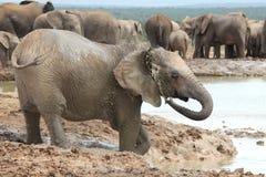 Elefantes africanos que se refrescan apagado Imagenes de archivo