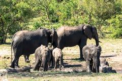 Elefantes africanos que tomam o banho de lama Fotografia de Stock Royalty Free