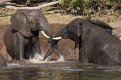 Elefantes africanos que toman un baño de fango Foto de archivo