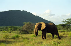 Elefantes africanos, reserva do jogo de Samburu, Kenya Fotos de Stock
