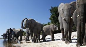 Elefantes africanos - rio de Chobe - Botswana Foto de Stock Royalty Free