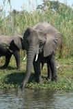 Elefantes africanos salvajes Imagen de archivo libre de regalías