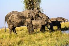 Elefantes africanos sedientos Fotos de archivo