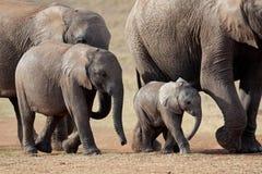 Elefantes africanos, Suráfrica foto de archivo