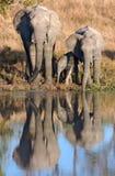 Elefantes africanos y becerro en el waterhole Foto de archivo