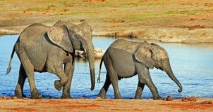 Elefantes ao lado de um waterhole no parque nacional de Hwange, com luz agradável na água, Fotografia de Stock