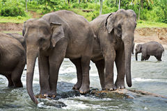 Elefantes asiáticos Fotografía de archivo libre de regalías