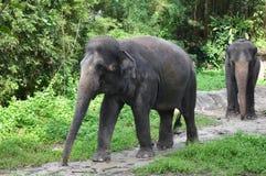 Elefantes asiáticos Fotos de Stock Royalty Free