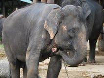 Elefantes asiáticos Fotos de Stock