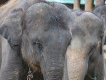 Elefantes asiáticos Imágenes de archivo libres de regalías