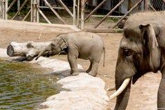 Elefantes asiáticos Imagem de Stock