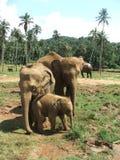 Elefantes asiáticos con el bebé Imagen de archivo libre de regalías