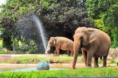 Elefantes asiáticos femeninos y masculinos Fotografía de archivo libre de regalías