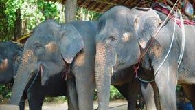 Elefantes asiáticos para los turistas que montan a través de la selva granja del elefante, elefante que alimenta, viaje y turismo metrajes