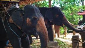 Elefantes asiáticos que comen el bastón en la granja para los turistas del entretenimiento almacen de video