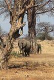 Elefantes bajo un árbol africano Fotografía de archivo libre de regalías