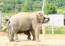 Elefantes bebendo Fotos de Stock