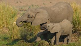 Elefantes bebendo Fotografia de Stock