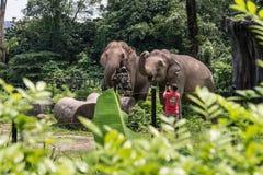 Elefantes com seus instrutores Foto de Stock