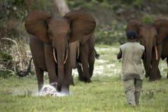 Elefantes da floresta Fotografia de Stock Royalty Free