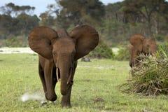 Elefantes da floresta Fotos de Stock Royalty Free