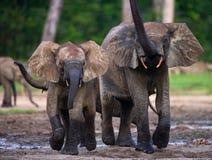 Elefantes da floresta que jogam um com o otro fotografia de stock royalty free